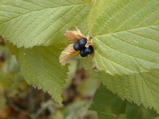 Jet berry
