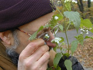 Wildman looking at snakeroot flower