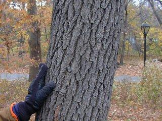 Sassafras tree trunk
