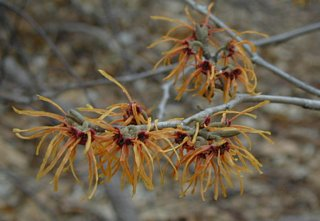 Witch hazel in full bllom