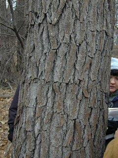 Sassafras trunk