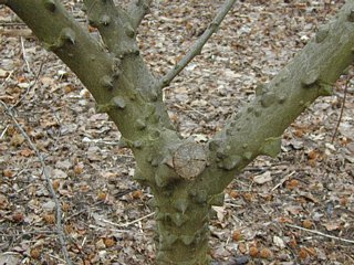 Prickly ash closeup