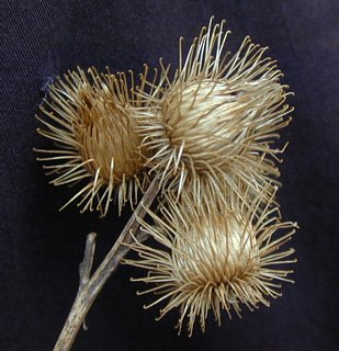 Burdock burrs closeup