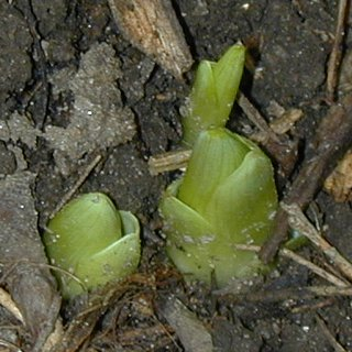 Day lily shoots