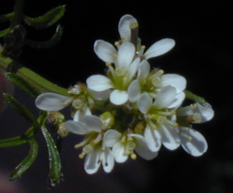 Mountain watercress flower closeup