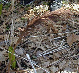 Dead frond of ostrich plume fern