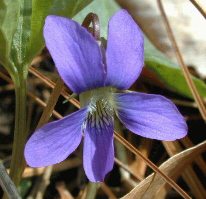 Blue violet flower