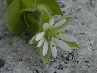 Chickweed flower closeup