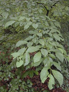 Common spice bush