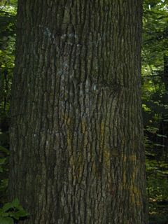 Sassafras tree trunk
