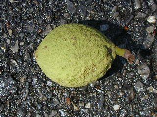 Immature black walnut