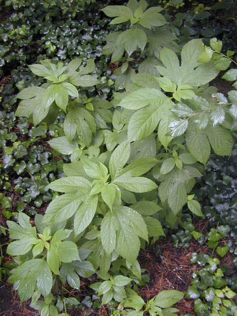 Greater Ragweed [Ambrosia trifida]