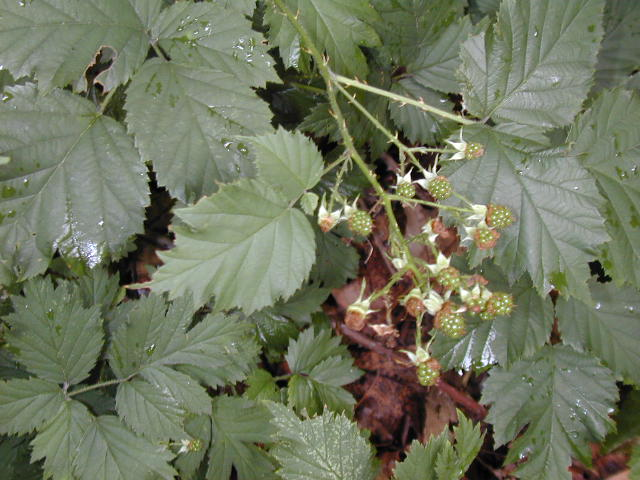 European blackberry