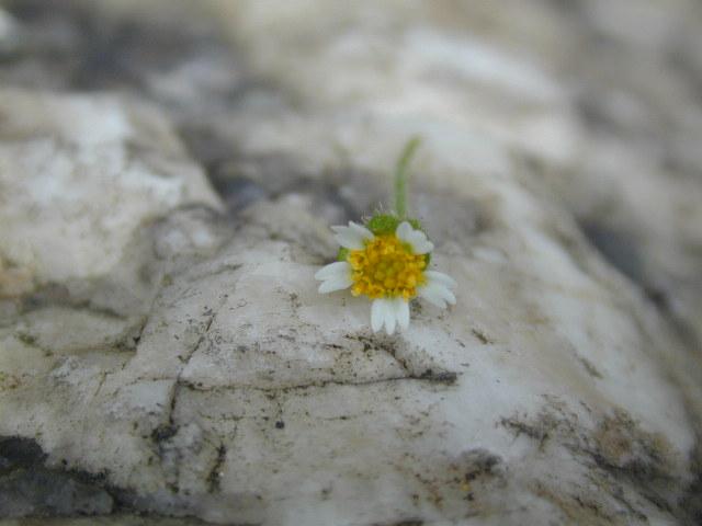 Quickweed flower