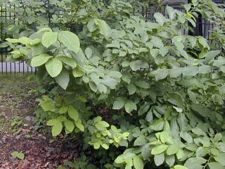 Common spicebush