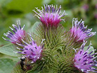 Burdock flower closeup