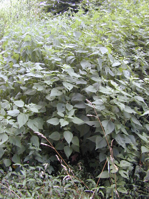 White snakeroot in situ