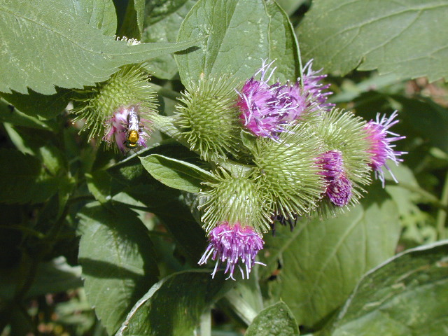 Burdock flower closeup