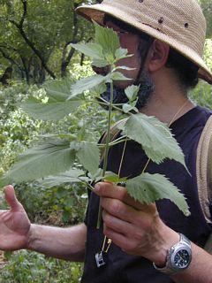 White snakeroot in Steve's hand