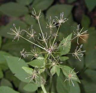 Goutweed flower