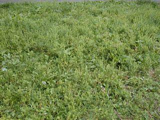 Field of poor man's pepper