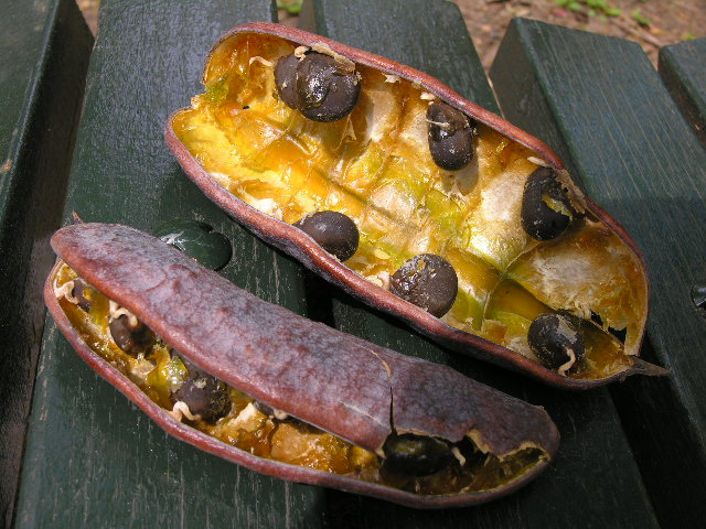Kentucky coffee tree seed pod that I opened