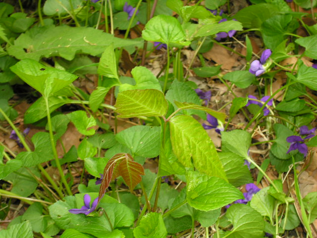 Poison ivy in amongst the violets