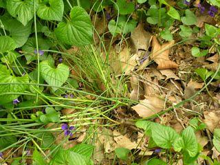 Field garlic in situ