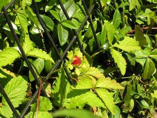 Indian strawberry closeup