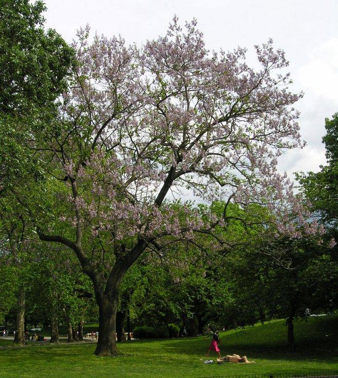 Polonia tree