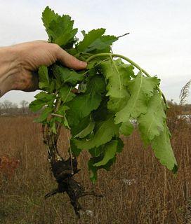 Parsnips root