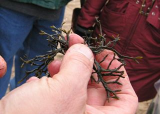 Fucus seaweed