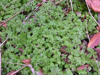 Chickweed again