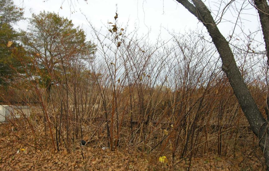 A stand of Japanese knotweed