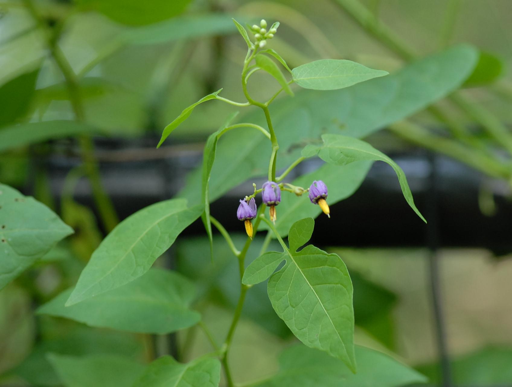photo 9 plant nightshade common solanum nigrum