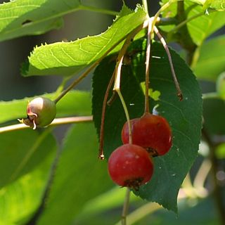 Juneberry/Service Berry