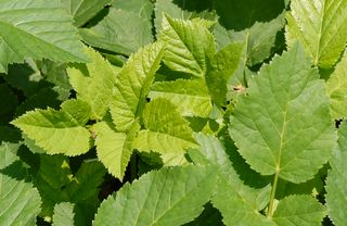 Gout weed