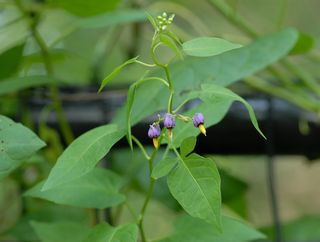 Common nightshade