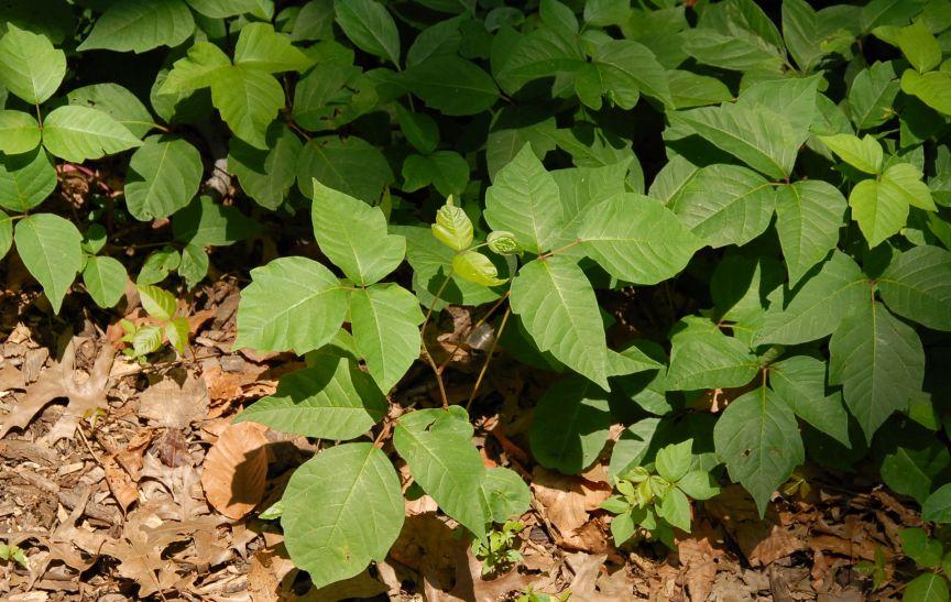 Poison ivy on ground