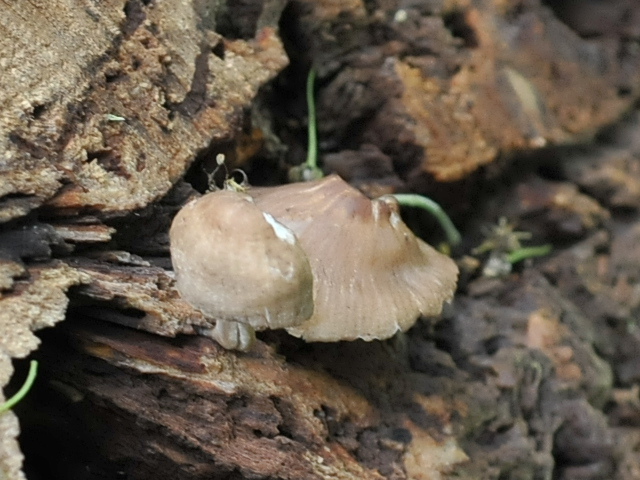 Little brown mushroom