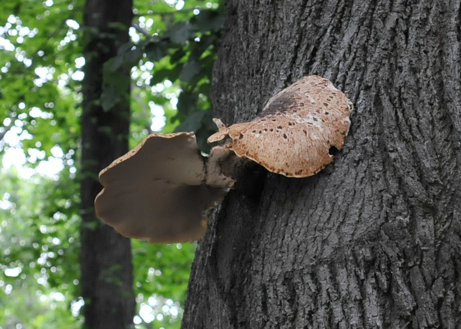 Dryad Saddle Polypore