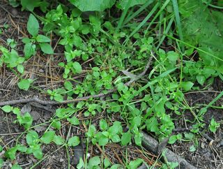 Chickweed in situ