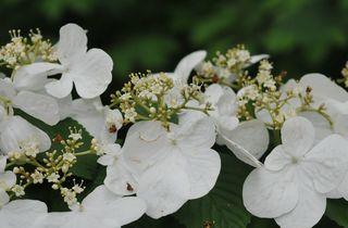 Hobblebush flowers closeup