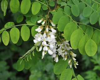 Black locust flower closeup