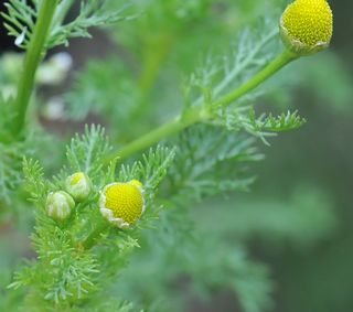 Pineapple weed closeup showing flower budding stages