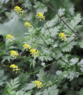 Hedge mustard flowers