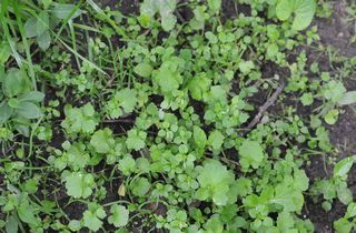 Chickweed with immature hedge mustard mixed in