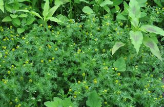Pineapple weed patch