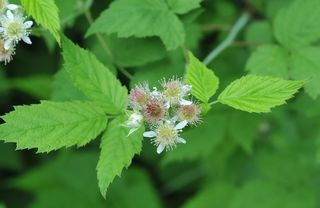 Black raspberry flowers
