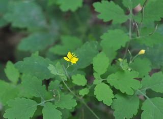 Greater celandine flower